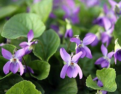 - Sweet Violet, English Violet seeds - Viola odorata