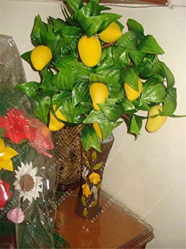 mango fruit tree - 5