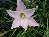 Rain Lily, Habranthus Robustus Russell Manning, 4 bulbs, RARE, zephyranthes