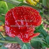 6x Fresh ORGANIC Carolina Reaper Peppers - World's Hottest Pepper!
