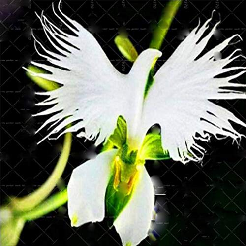100pcs Rare Orchid Man Flowers Monkey Orchid Bonsai Perennial Indoor Flowers for Home Garden Pot Plant Flower