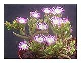 Drosanthemum crassum - Mesembryanthemum - 15 seeds