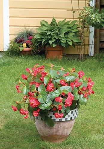- Ferry-Morse Begonia Landscape Big Red Green Leaf Flower Plantlings Kit, Pack of 12