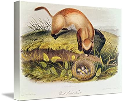 CANVAS Black-Footed Ferret Art print POSTER