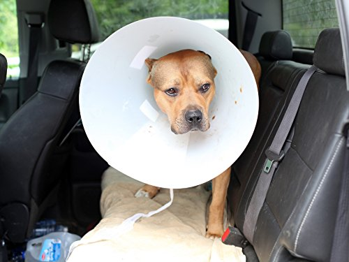 super-pit-bull-ace-undergoes-surgery