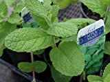 "Clovers Garden Apple Mint Plant- Two (2) Live Plants - Not Seeds -Each 4""-7"" Tall - In 3.5 Inch Pots"