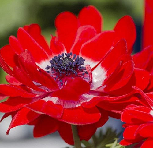 Double Red Anemone The Governor - 30 Big Bulbs - 6/7 cm - Great Cut Flowers & Attractive to Butterflies!