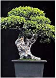 Tropica - Bonsai - olmo Chino (Ulmus chinensis) - 30 Semillas