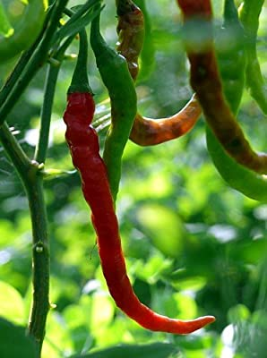 Pusa Jwala Finger Hot Indian Pepper 25 Seeds - Very Hot