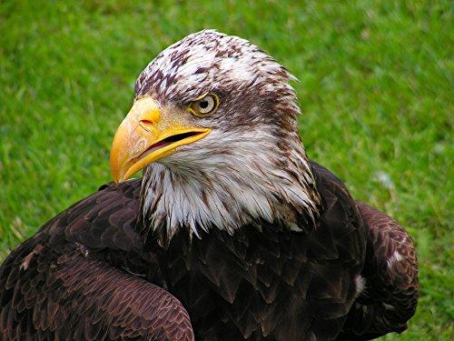 Bald Eagle Portrait - 6