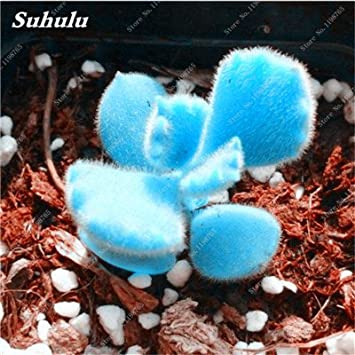 Semillas Semillas 200 PC raras mini azul Lithops Cactus suculentas semillas Culo flor de piedra Bonsai Para el jardín de DIY So Beautiful 1: Amazon.es: ...