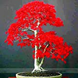 BeeSpring 100% True Japanese Red Maple Bonsai Tree Cheap Seeds