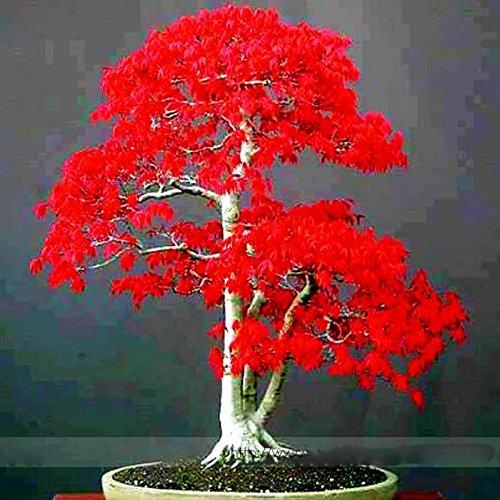 ADB-Inc-100-True-Japanese-Red-Maple-Bonsai-Tree-Cheap-Seeds