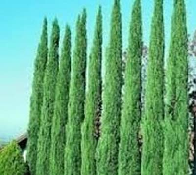 Italian Cypress Tree ( Cupressus ) - Live Plant - 1 Gallon pot