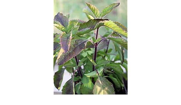 PLAT firma de Semillas de albahaca morada, hojas de color rojo ...