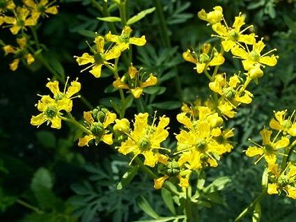 Amazon 50 Yellow Rue Herb Of Grace Common Rue Ruta