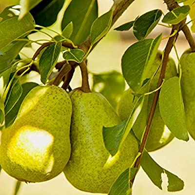 Bartlett Pear, Pyrus Communis 'Bartlett', 30 Tree Seeds (Fast, Hardy, Fall Color)