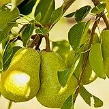 Bartlett Pear, Pyrus Communis 'Bartlett', 30 Tree Seeds (Fast, Hardy, Fall Color)
