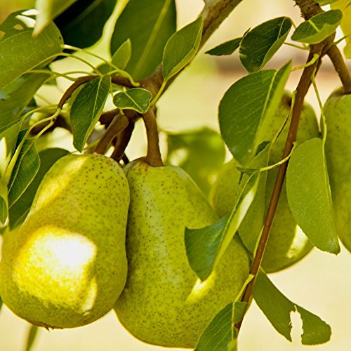 Bartlett Pear, Pyrus Communis 'Bartlett', 30 Tree Seeds (Fast, Hardy, Fall Color) (Fall Pear)