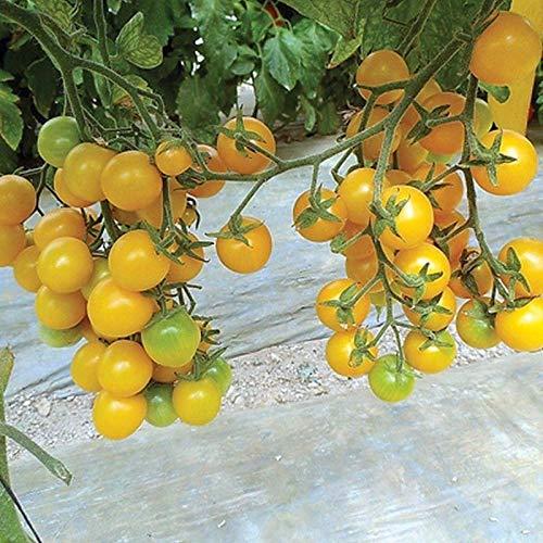 (Esterina F1 Hybrid Organic Tomato Seeds - Organic golden cherry -Sweet!!!!!!(10 -)