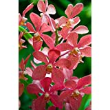 Singapore. National Orchid Garden - salmon colored Orchids Poster Print by Cindy Miller Hopkins (24 x 36)