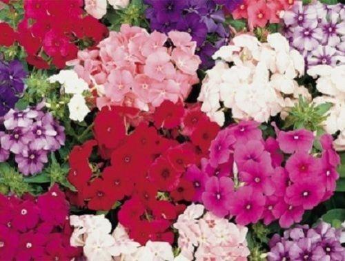 30+ Petticoat Dwarf Mix Phlox / Fragrant Shade Loving Perennial