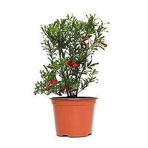 AMERICAN PLANT EXCHANGE Dwarf Pomegranate Bush Indoor/Outdoor Air Purifier Live Plant, 6″ 1 Gallon Pot, Fruit Producing!