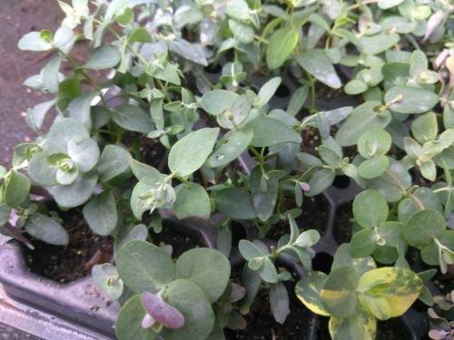 "EUCALYPTUS - SILVER DROP - 2 PLANTS - 3"" POTS"
