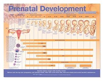 unborn development chart: Prenatal fetal development chart science prints amazon com