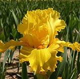 Iris Pure As Gold, Iris Germanica, Bearded Iris Golden Yellow, Bare Root Med a