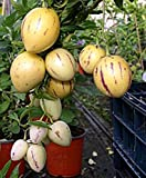 Solanum Muricatum Sweet Cucumber Seeds, Professional Pack, pepino dulce melon pear edible fruits