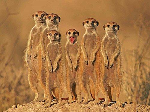Artland Qualitätsbilder I Glasbilder Deko Bilder EcoShot Erdmännchen Familie Tiere Wildtiere Fotografie Ocker 60 x 80 x 1,1 cm A7EV