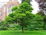 50 Japanese Snowbell Tree Seeds, Styrax Japonicus