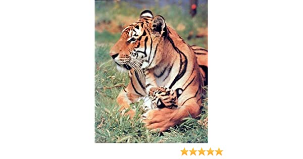 Amazon Bengal Tiger And Cub Wild Animal Nature Wall Decor Art Print Picture 8x10 With Poster Posters Prints