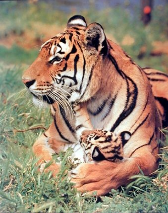 Bengal Tiger and Cub Wild Animal Nature Wall Decor Art Print Picture