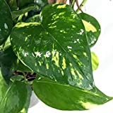Golden Devil's Ivy - Pothos - Epipremnum
