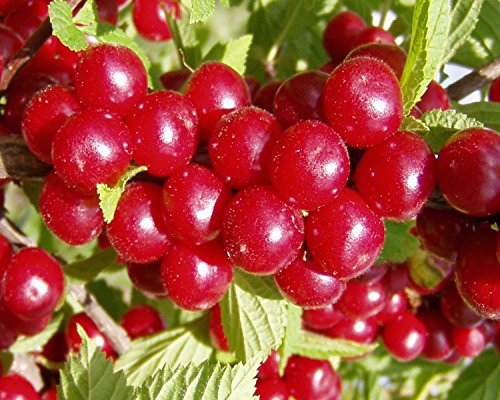 Nanking Bush Cherry, Prunus tomentosa, Shrub Seeds (Fast, Hardy, Edible) 10