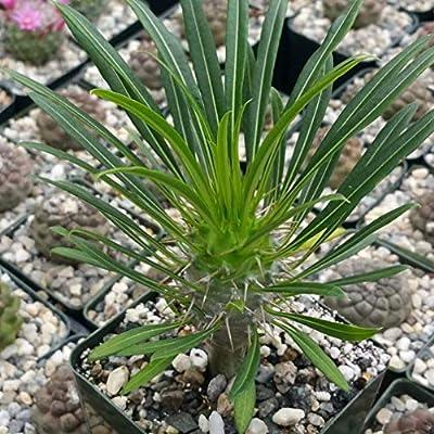 Pachypodium Lamerei, Madagascar Palm Succulent Plant - 3.5 inch Pot (2 Plants) : Garden & Outdoor