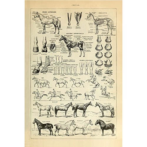 Meishe Art Vintage Poster Print Horse Prad Breeds Anatomy Educational Science Identification Reference Illustration Chart Diagram Home Wall Decor