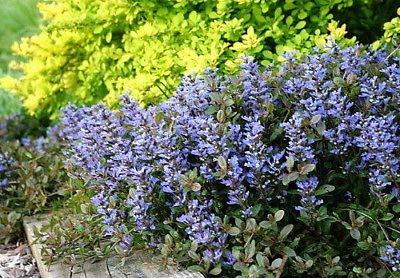 Chocolate Chip Ajuga - Carpet Bugle - Miniature Leaves - 48 Plants -1 3/4'' Pot