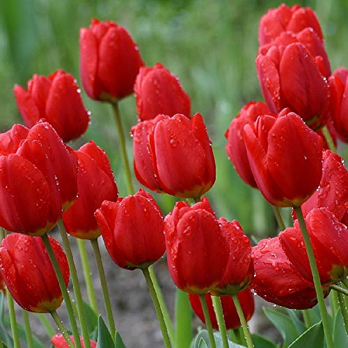 Tulip Bulbs - Red Impression - Bag of 50, Spring/Red Flowers by Eden Brothers
