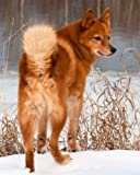 """Finnish Spitz: Artified Pets Journal/Notebook/Diary, 8"""" by 10"""" and 160 Pages (Artified Pets/Dog)"""