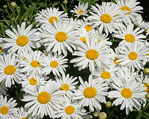 Shasta Daisy Seeds, Perennial Flower, 5000 Seeds by -