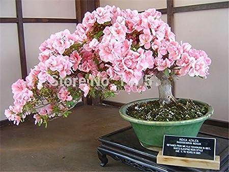 Etophigh Graines de cerisiers en Fleurs Miniature Fleurs darbres Planter des graines Jardin Plantes en Pots Japonais Sakura Graines