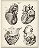 Anatomical Heart From 4 Views - 11x14 Unframed Art Print - Great Gift for Medical and Nursing Students