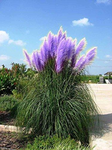 new-rare-impressive-purple-pampas-grass-seeds-ornamental-home-garden-plants-flowers-seeds-cortaderia