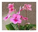 Streptocarpus daviesii - Cape primrose - Red nodding bells - 10 seeds