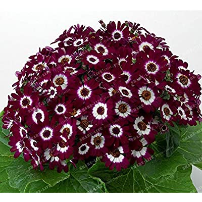 Kasuki 100PCS Florists Cineraria Bonsai 9 Kind Different Bonsai Flowers Pericallis hybrida Bonsai DIY Home and Garden Decor - (Color: 13): Garden & Outdoor