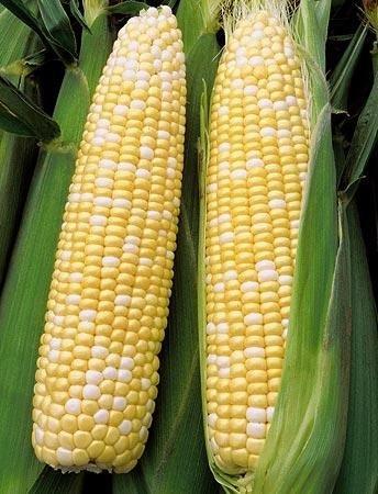 1 Lb Sweet - Bulk Organic Sweet Corn Seeds (1 LB) 2200 Seeds