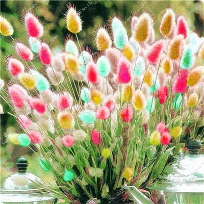 2016 New Arrival 100 Pcs Ornamental Grass, a Variety of Color Mixing of Rabbit Tail Grass Seeds, DIY Potted Plant for Home Garden : Garden & Outdoor